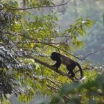 Costa Rica wildlife howler monkey