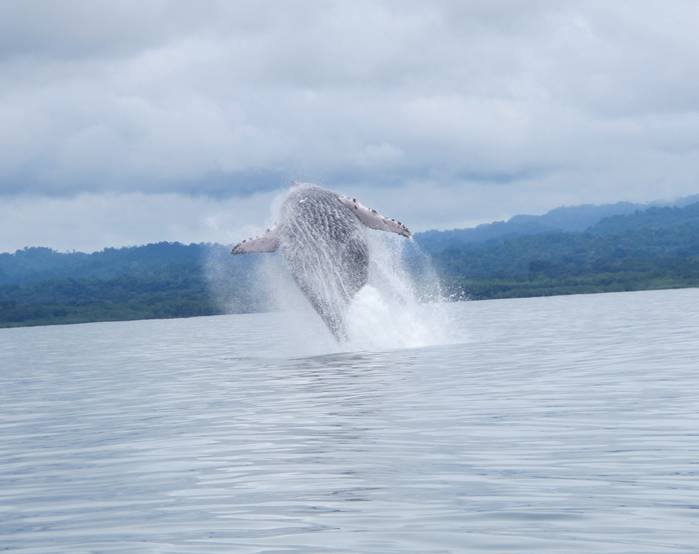 Humpback Whales in Costa Rica