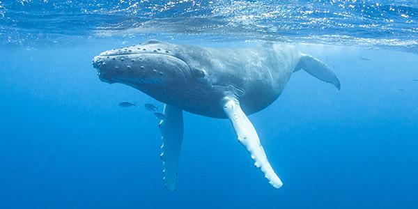 Humpback Whale, photo courtesy of National Wildlife Federation