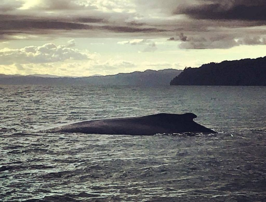 Humpback whales in Costa Rica