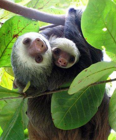 Sloth and baby in Costa Rica