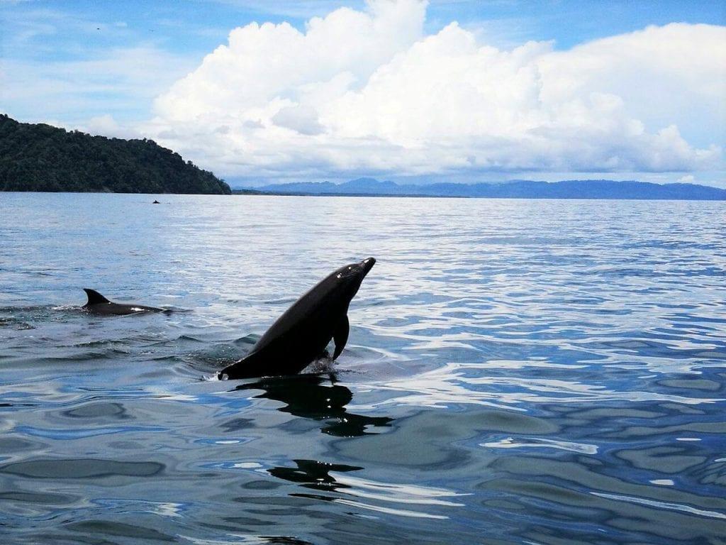 Dolphins at Nicuesa Lodge, Golfo Dulce
