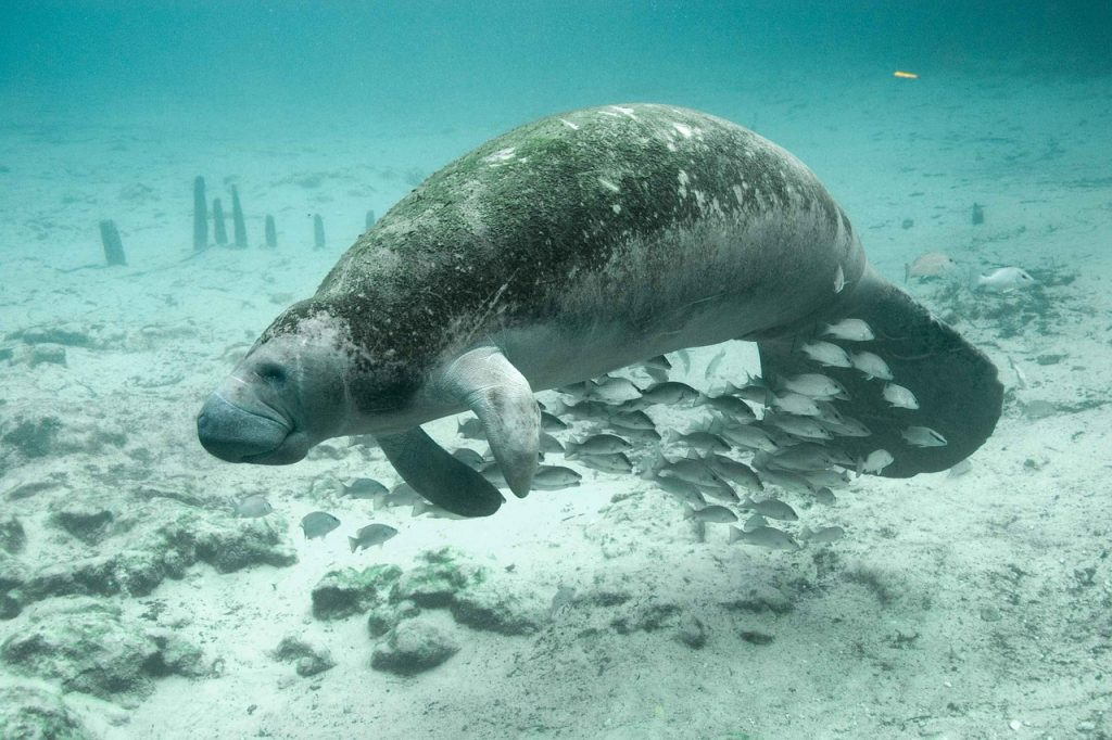 Costa-Ricas-Manatees-Tortugueros-Mermaids-of-the-Canals